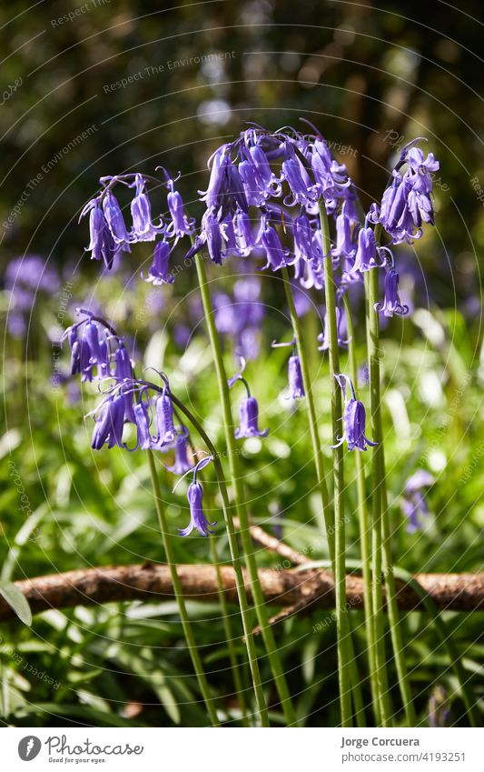 vertical format of bluebells, Hyacinthoides, wild flowers in spring time bloom blossom flora nature purple perennial beautiful plant floral natural blooming