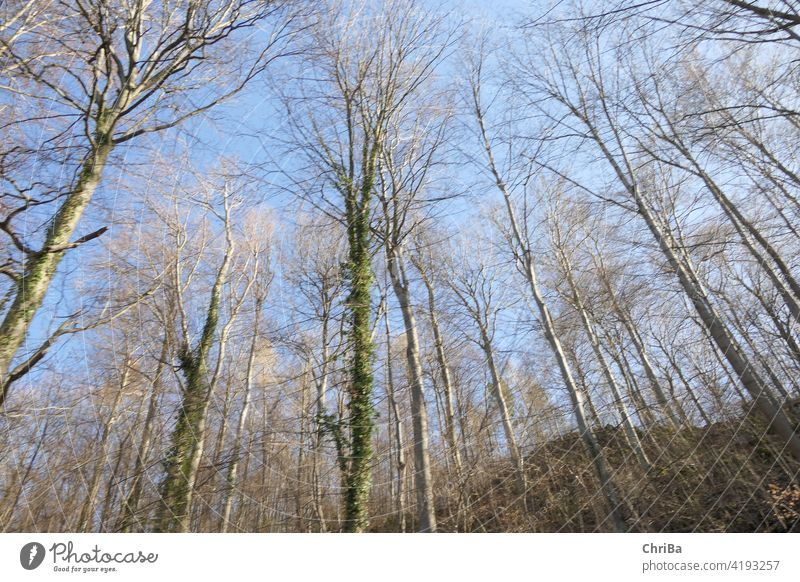 Spring forest with soft green and blue sky seen from bottom to top natural below light nature woods folio environment lush leaf schedules branch up Wild tree