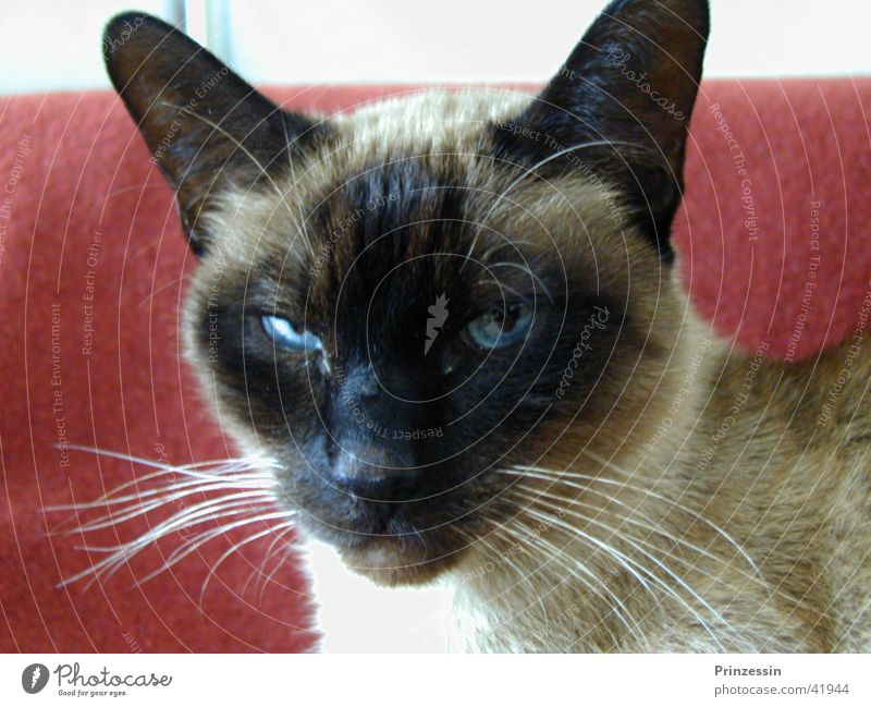 cat Cat Animal Siamese cat