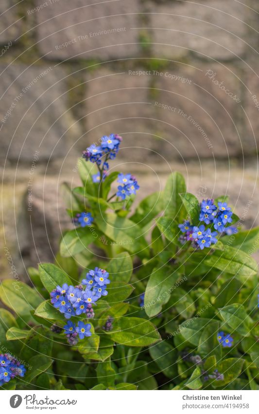 View from above on forget-me-not / myosotis and paving stones Forget-me-not Myosotis Blue Green Spring pretty romantic Spring Flowering flowers Nature Plant