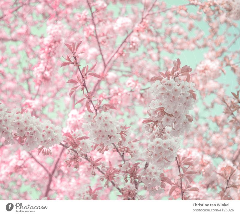 Flower dream in white and pink with some pale blue sky showing through the blossoms Flourishing Spring Blossoming Pink Tree Nature Garden Park Spring fever
