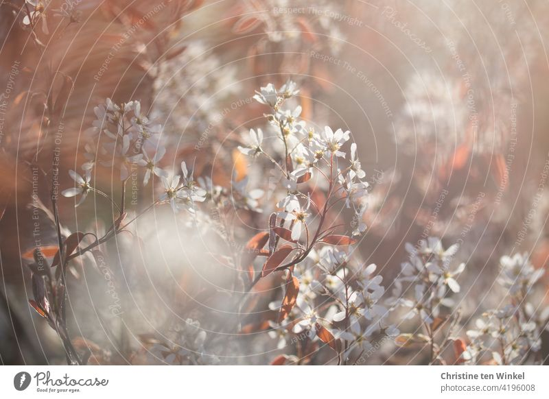 White delicate blossoms of the rock pear / Amelanchier in the backlight of the low sun amelanchic pome fruit growth rosaceous plant Blossoming Flourishing