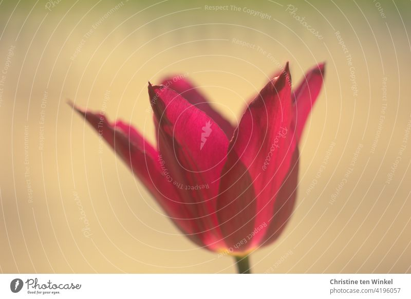 Close-up of a red - purple tulip flower, slightly translucent in the sunlight. Bright calm background Tulip blossom Flower Spring Blossom Plant Blossoming
