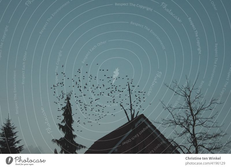 A flock of starlings on their last round at dusk before they go to their roosts in the garden behind the house and the trees / Sturnus vulgaris Stare birds