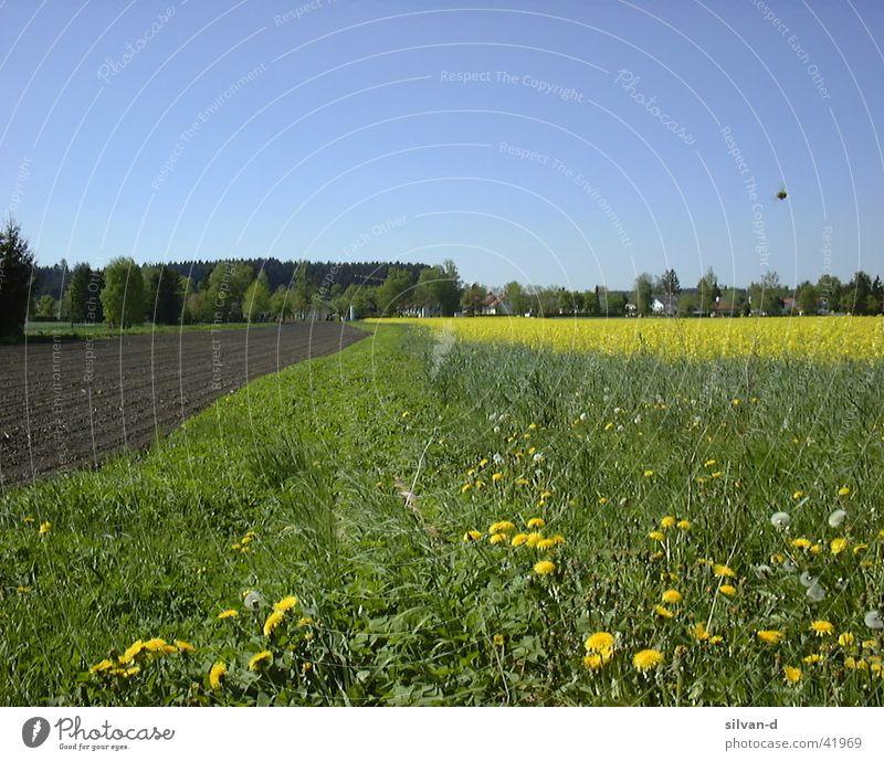 rapsfeld Canola Field Meadow
