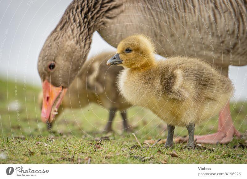 Goose chicks under observation Gray lag goose Chick Meadow birds Duck birds Beak Cute