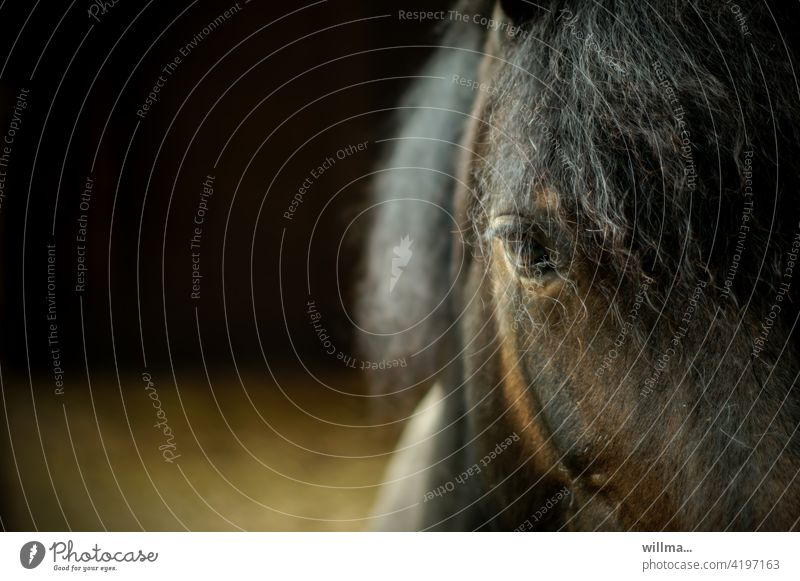 Horse with perm, after the rain Horse's eyes Eyes Head Brown Mane Animal Farm animal Looking partial view Copy Space
