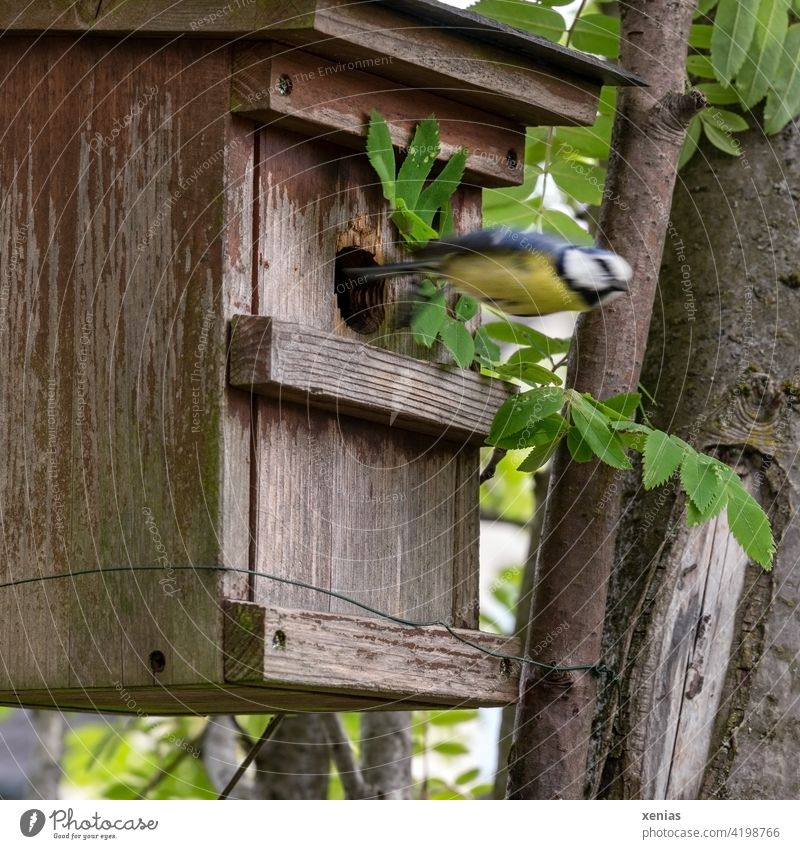 Tit in a dive - blue tit leaves the bird house as fast as an arrow Bird aviary birds Tit mouse Flying swift Garden Animal Wild animal motion blur blurred