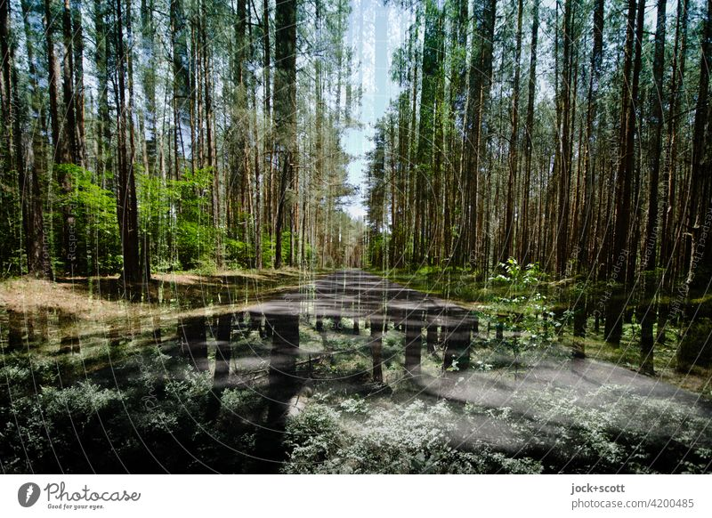 quiet road through the dense forest Müritz National Park Abstract conifers Forest Nature Nature reserve Environment Double exposure Coniferous forest