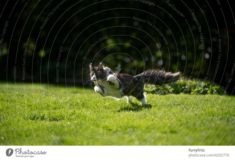 maine coon cat running on grass outdoors  hunting purebred cat pets longhair cat feline fluffy fur beautiful nature garden front or backyard green lawn meadow