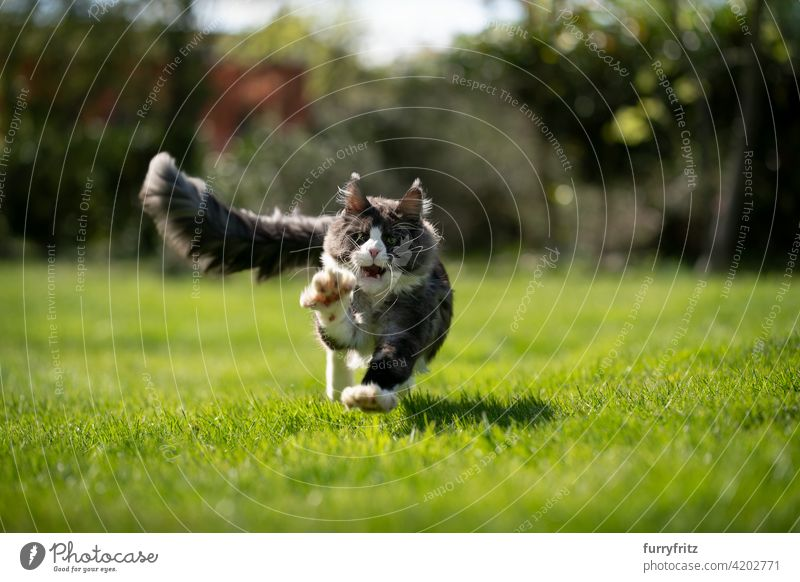 tuxedo maine coon cat hunting running at camera purebred cat pets longhair cat outdoors feline fluffy fur beautiful nature garden front or backyard green lawn