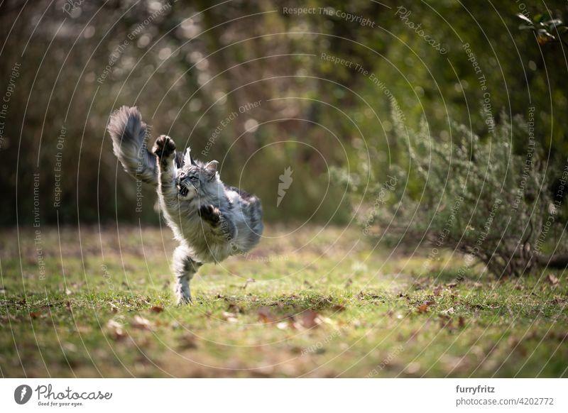 playful maine coon cat running outdoors on grass purebred cat pets longhair cat feline fluffy fur beautiful nature garden front or backyard green lawn meadow