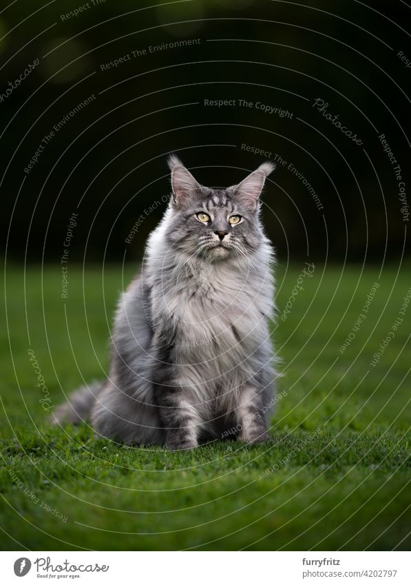 portrait of a beautiful silver tabby maine coon cat on green grass purebred cat pets longhair cat outdoors feline fluffy fur nature garden front or backyard