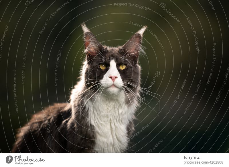 tuxedo maine coon cat outdoors portrait with copy space purebred cat pets longhair cat feline fluffy fur beautiful nature garden front or backyard green
