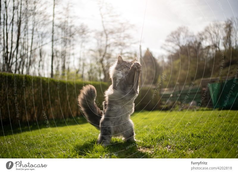 maine coon cat playing outdoors in sunny back yard purebred cat pets longhair cat feline fluffy fur beautiful nature garden front or backyard green lawn meadow