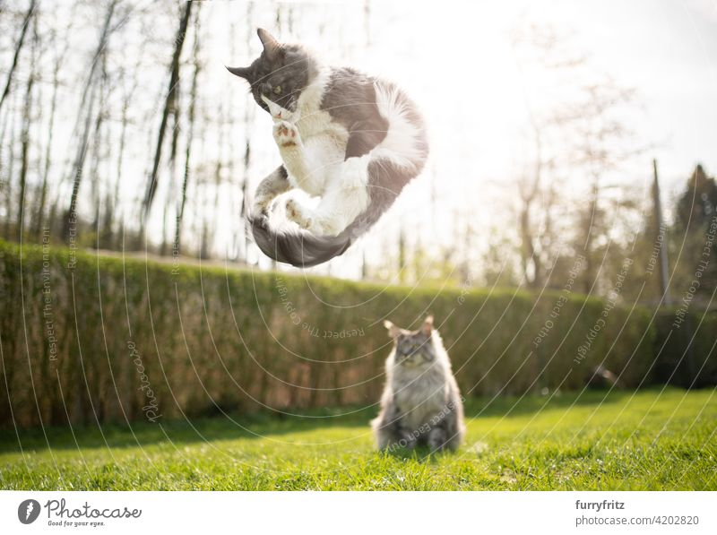 playful cat jumping another cat watching funny purebred cat pets maine coon cat longhair cat outdoors feline fluffy fur beautiful nature garden