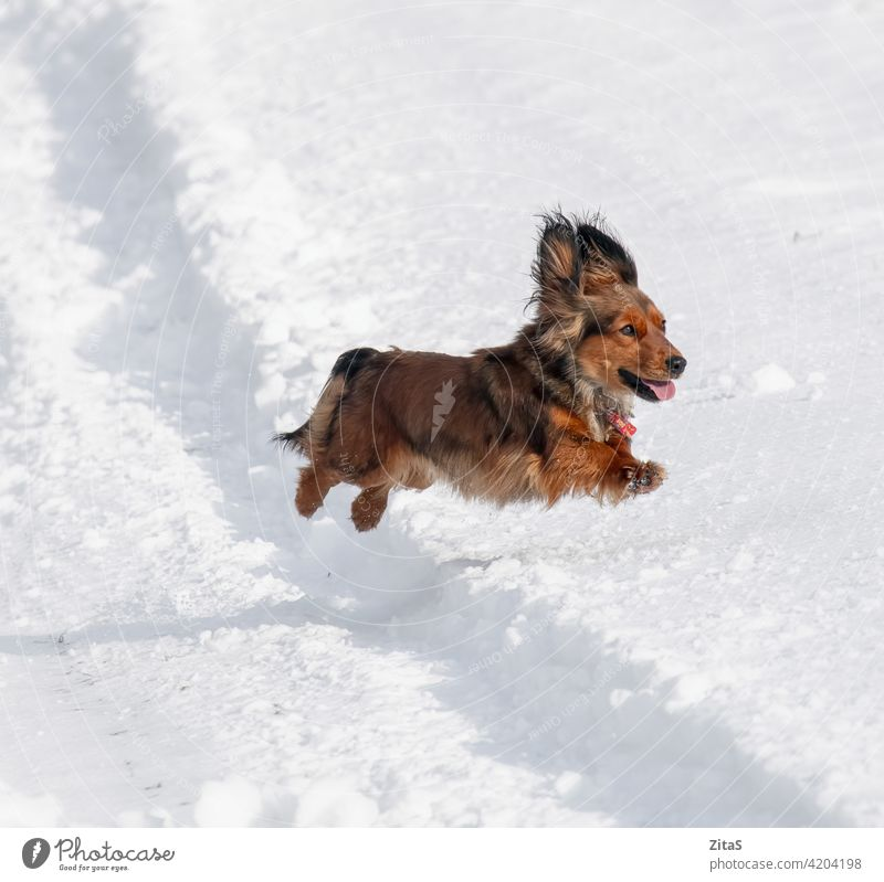 Long haired Dachshund dog jumping in the snow dachshund cute breed long haired long haired dachshund sausage dog doggy puppy aniimal pet brown winter happy