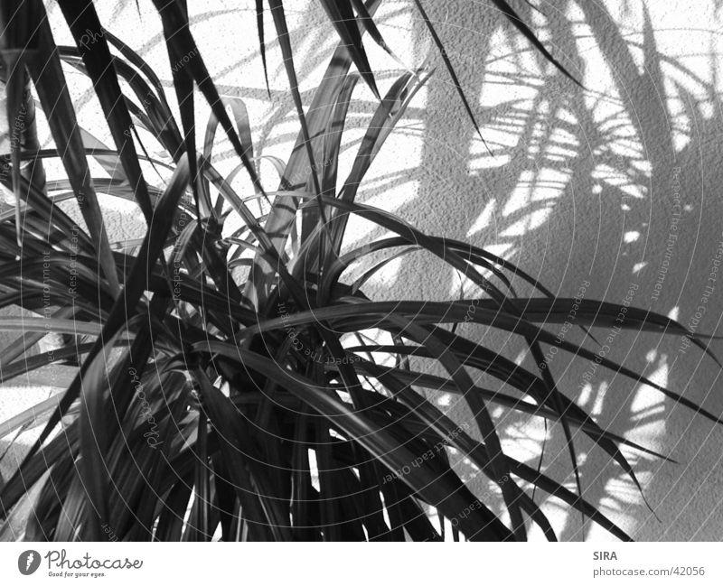 Plant Palm tree