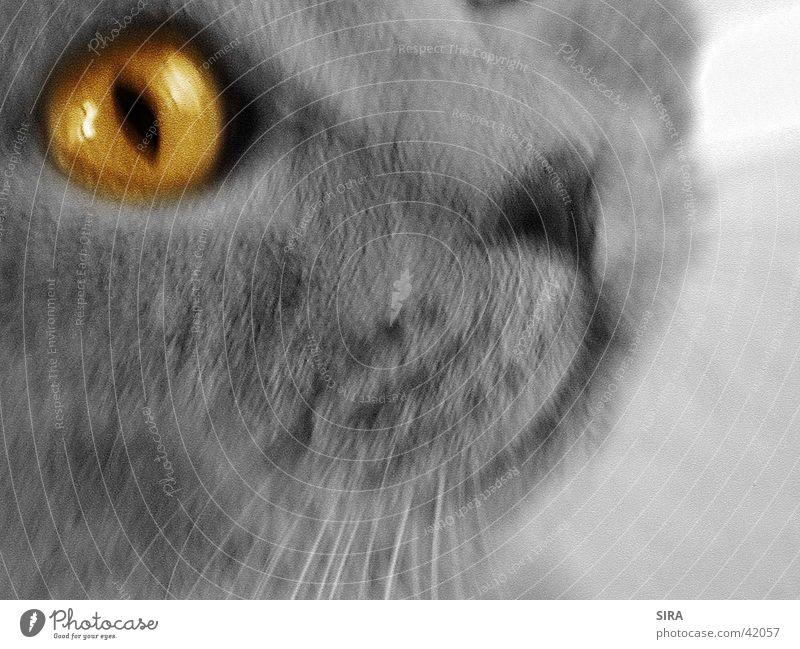 Eyes Cat