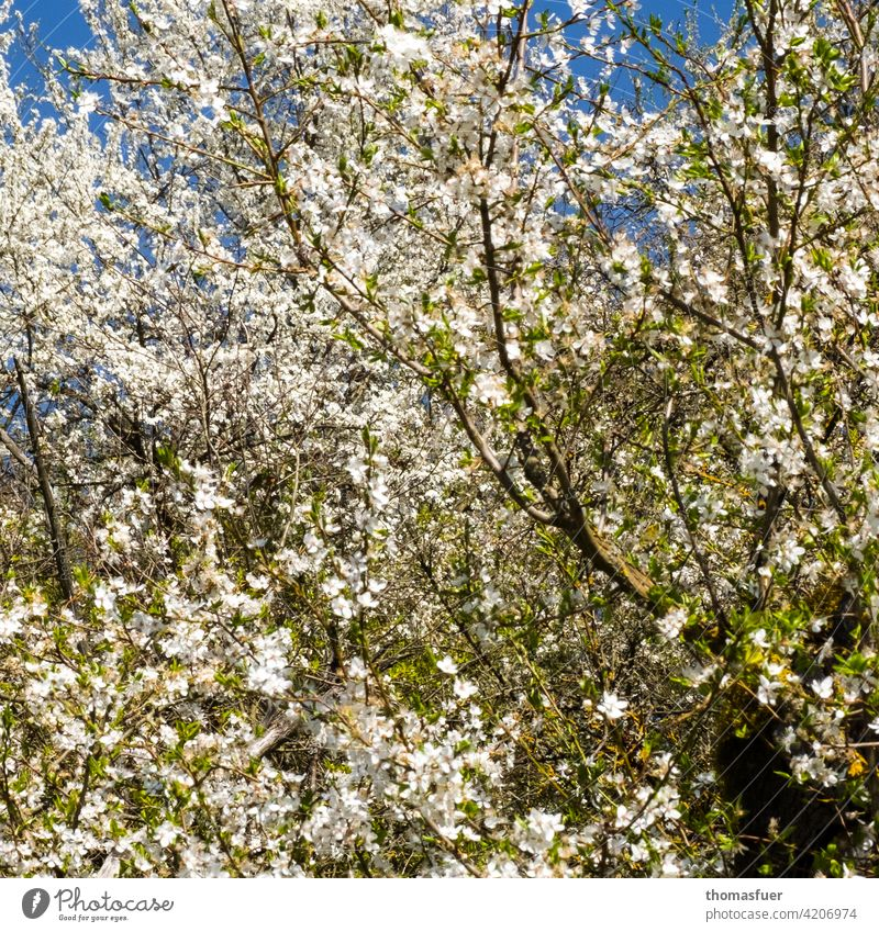 spring blossoms flowers Blossom Spring sea of blossoms abundance spring awakening Plant Exterior shot Nature Romance Spring fever Sky Blue Tree