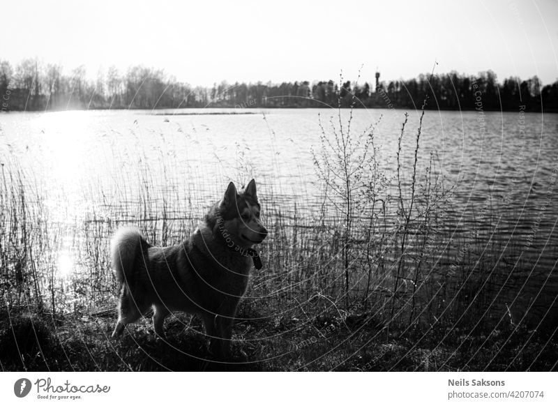 Malamute dog standing on lake shore against water travel outdoors nature environment majestic flora animal pet mammal landscape tranquil calm quiet latvia fur