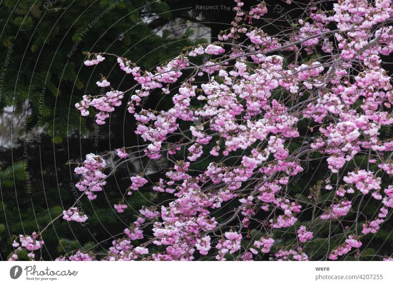 Branches of a flowering ornamental cherry with pink flowers blooms Blooming Subsidiaries Cherry blossom Copy Space f Lowering Garden Gardening Nature nobody