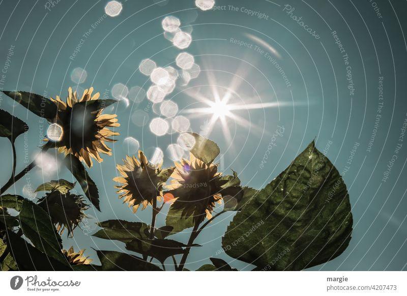 Sunflowers are illuminated by the sun Sunlight Exterior shot Flower Summer Green Blossom Yellow Sunbeam Light (Natural Phenomenon) Reflection Day Morning