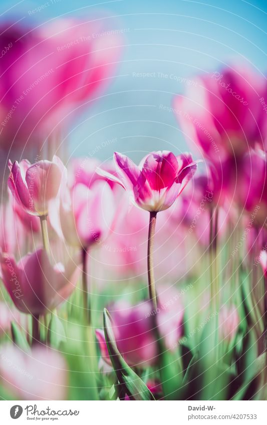 colorful tulips in a tulip field pink Pink Spring blossom pretty sunshine Tulip field Flower