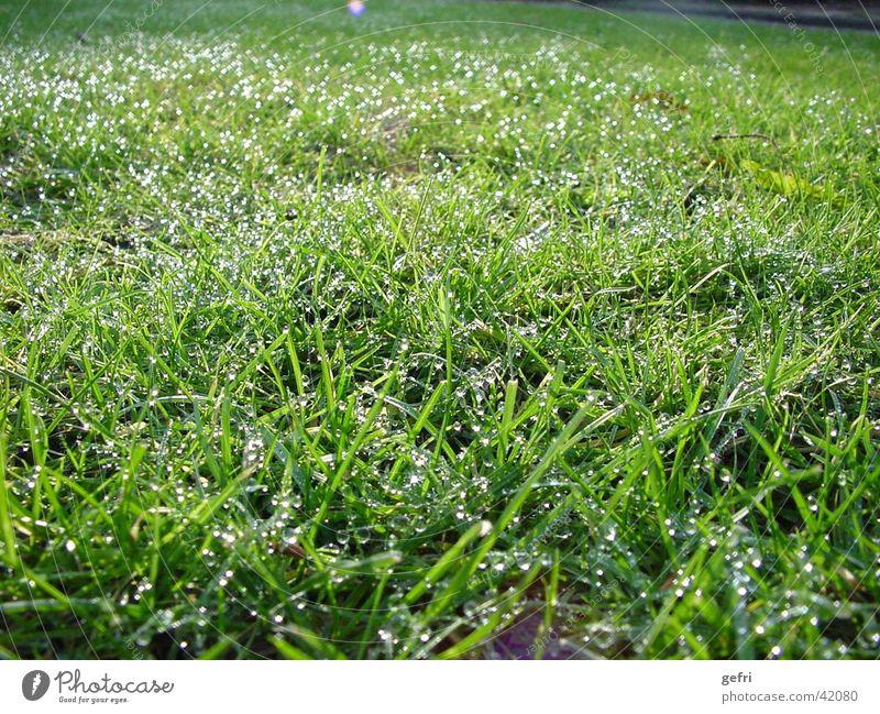 meadow Meadow Dew