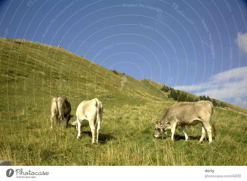 Meadow Mountain Transport Alps Cow Cattle