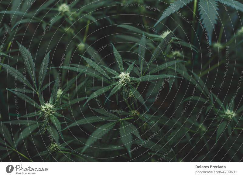 Amnesia haze indoor plantation in flowering stage weed background green nature cannabis medicine marijuana hemp natural drug leaf grass medical narcotic closeup