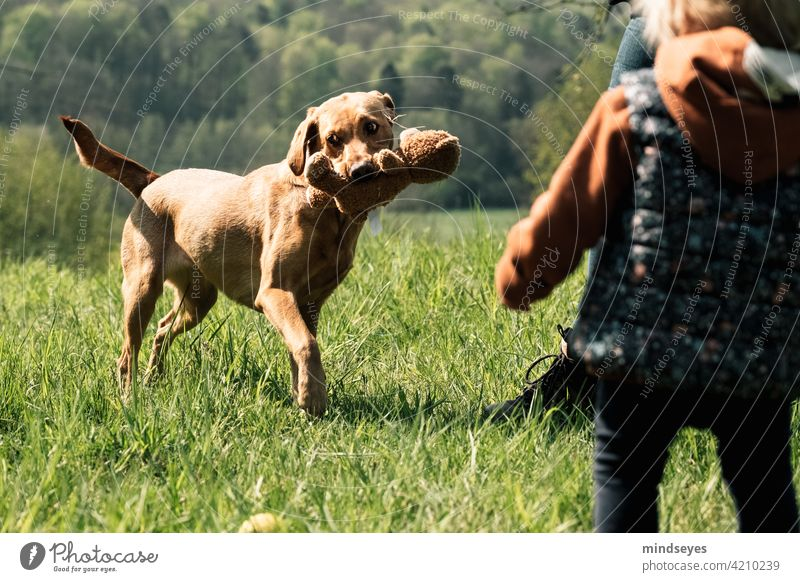 Family dog playing with teddy bear Spring Pet Dog Labrador Playing out Nature Happy Infancy Happiness Exterior shot Puppy Colour photo Leisure and hobbies