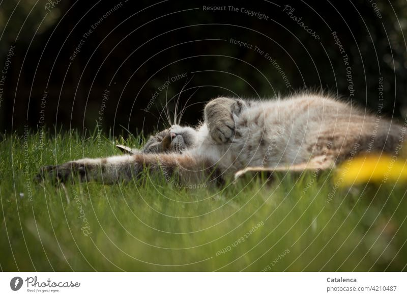 A cat sleeps relaxed in the grass, it is spring, the dandelion blooms Nature flora fauna Animal Pet Cat Sleep tranquillity To enjoy Plant Grass Blossom