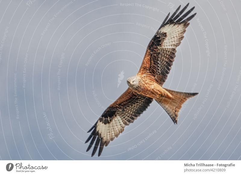 Flying red kite Red Kite Red kite milvus milvus Bird in flight Bird of prey Head Beak Eyes Grand piano Wing span feathers plumage flapping Sky sunshine Sun