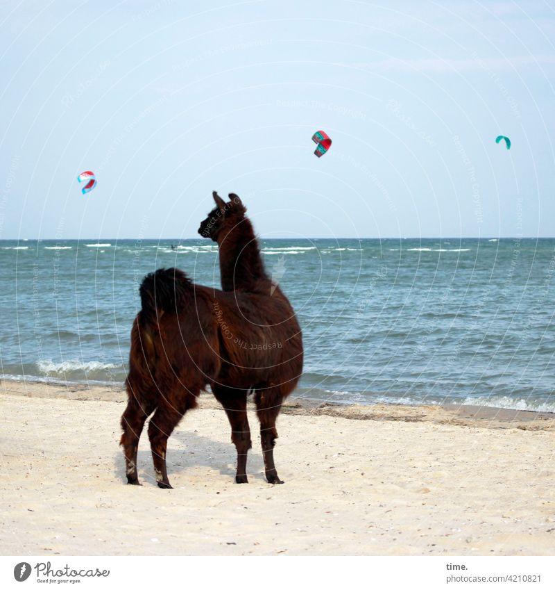 beach cinema Alpaca Kiter Kitesurfing Beach Waves Ocean Horizon Water Wet Baltic Sea Animal Pelt Observe look astonish kites