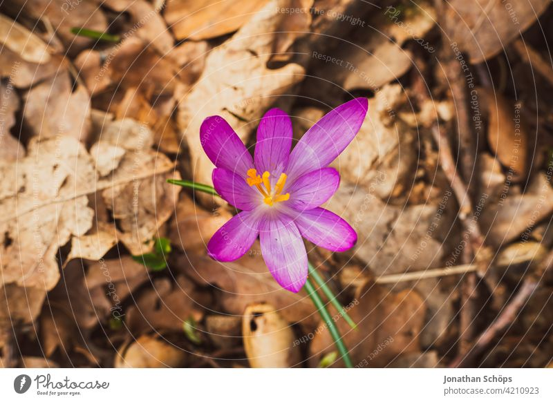 Early bloomer crocus macro shot on the forest floor Shallow depth of field Light Day Deserted Macro (Extreme close-up) Detail Close-up Exterior shot