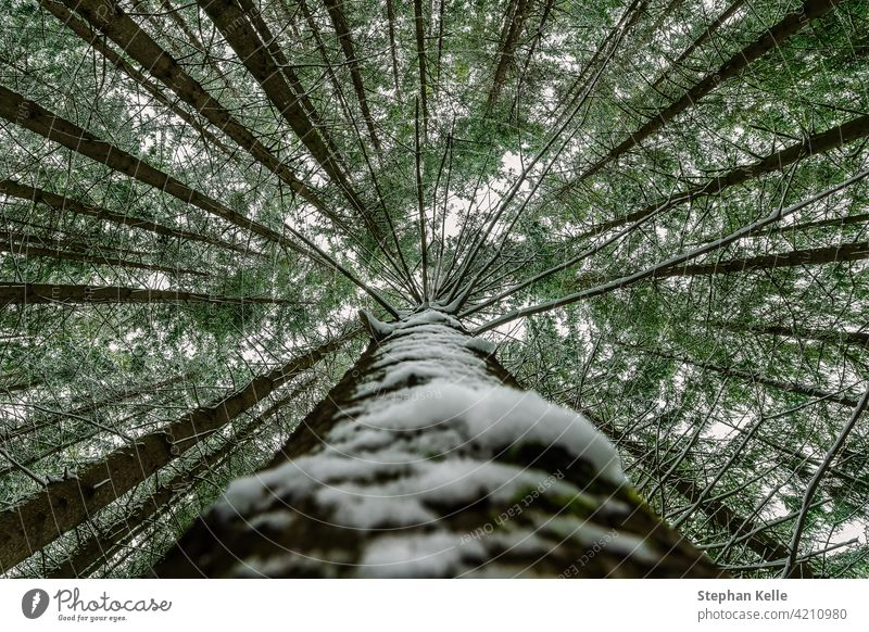 Snow covered tree perspective impressive view looking up as a symbol for a height-concept treetops tall snow nature winter leaf look-up low perspective wood