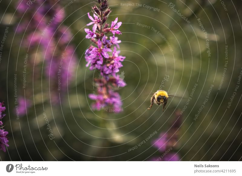 A bee collects nectar from bright purple flowers. Summer Flowering Purple Loosestrife, Lythrum tomentosum or spiked loosestrife and purple lythrum on a green blured background