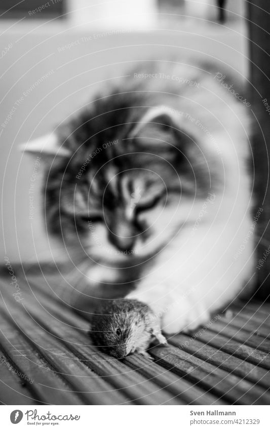 Puss with mouse as prey Cat Pelt Animal hangover Domestic cat Cute portrait Longhaired cat Looking Pet Observe Gray feline Animal portrait purebred cat Fluffy