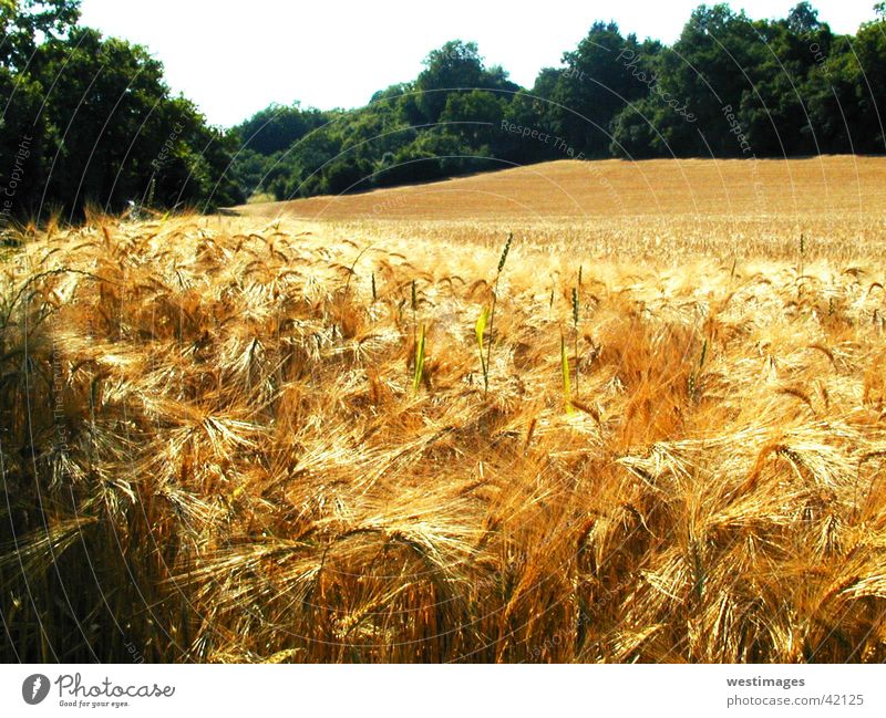 Nature Summer Harvest Cornfield