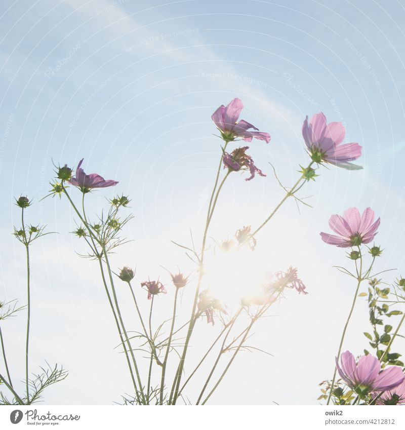 Growth Garden Blossom Flower Cosmos Wild plant Beautiful weather Summer Nature Plant Air Sky Clouds Environment To swing Blossoming Movement Meadow Bright Idyll
