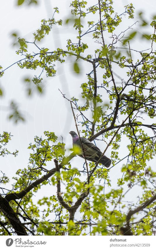 View from below up to dove sitting high up in tree Pigeon Tree Treetop Sky Branch Twig Leaf Green Tree trunk Nature Plant Deciduous tree Habitat safe Above Tall