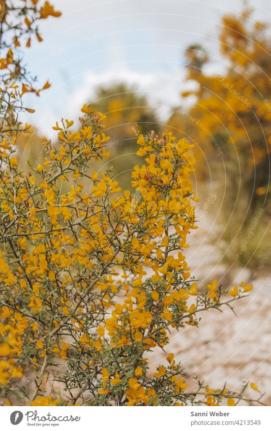 yellow mimosa shrub in the park Natural Mallorca Mimosa Family Plant Green Nature Colour photo Blossom Exterior shot Sensitive Yellow Bushes Flower Deserted Day