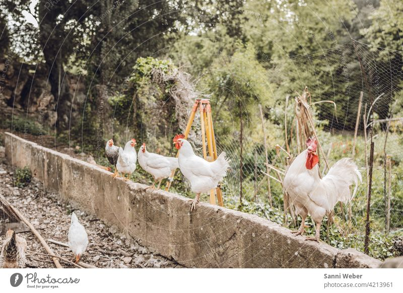 Farm in Mallorca Animal Colour photo Exterior shot Animal portrait Nature Rooster Bird Barn fowl Farm animal Agriculture Pet Poultry Free-range rearing