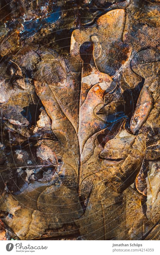 brown oak leaves frozen on the ground closeup Deserted Day Close-up Exterior shot Background picture Colour photo Structures and shapes Autumnal colours