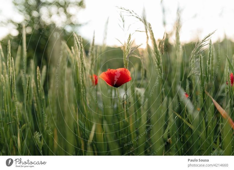 Close up poppy flower Poppy Poppy blossom Field Spring Spring fever Summer Flower Nature Plant Colour photo Poppy field Blossom Meadow Red Exterior shot Idyll