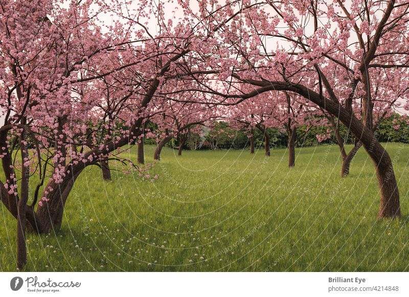 Japanese cherry tree avenue on green field Calm silent Flower Subsidiaries freshness flowers Blooming Fresh April heyday Blossom Japanese culture Picturesque