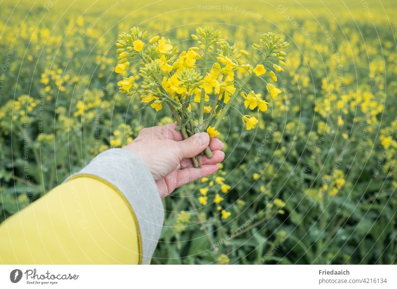 Rape blossoms in one hand at the rape field Canola Canola field Hand yellow jacket Oilseed rape flower Oilseed rape cultivation Agriculture Agricultural crop