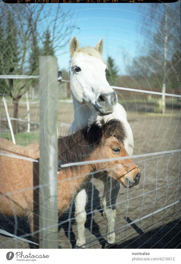 Getier Pferd ponny koppel bio reiten reiterhof reiterferien mädchen pferderennen fell schimmel zaun reitsport tieraugen pferdebulette pferdewurst