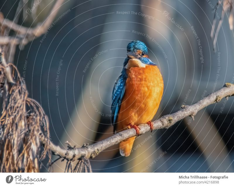 Kingfisher on a branch on the river bank kingfisher Alcedo atthis Head Eyes Beak feathers plumage Grand piano portrait Animal portrait Wild animal Bird Nature